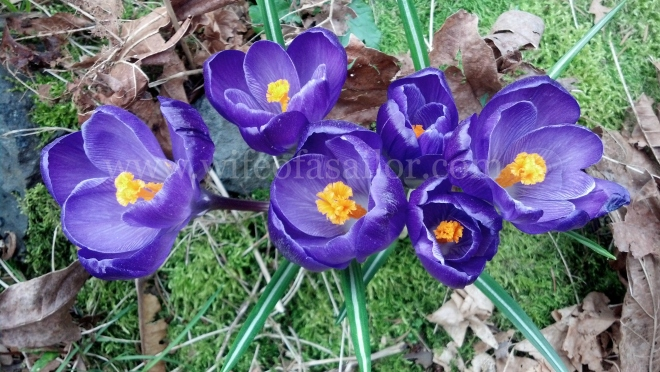 Crocuses blooming in our backyard.